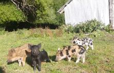 Piglets at Caro